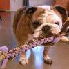 Hummus is a bulldog who lives in Athens, Ga, imagine that, right? She loves her new Super Chewer tug toy and won't let anyone take it away without a tug o war fight!