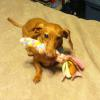 Ginger loves her toy! Just try to take it away. Grrrrr